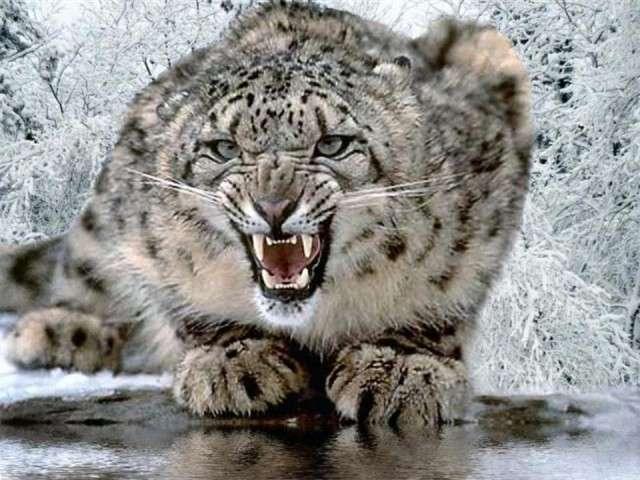 فهود اسود ونمور برية الحيوانات المفترسة feline13.jpg